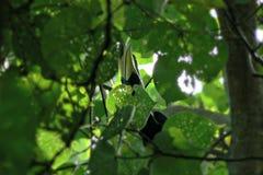 Oriental pied hornbill Stock Image