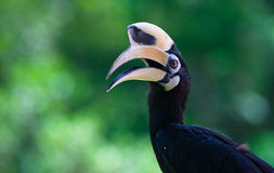 Oriental Pied Hornbill, Sabah, Malaysia, Borneo Royalty Free Stock Images