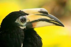 Oriental Pied Hornbill, Sepilok, Borneo, Malaysia Stock Photography