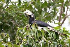 Oriental pied hornbill. Oriental pied hornbill sitting in tree Stock Photos