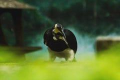 Oriental Pied Hornbill is the smallest hornbill in Thailand. stock image