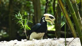 Oriental pied hornbill in tropical rain forest. Oriental pied hornbill Anthracoceros albirostris in tropical rain forest at Thailand stock footage