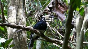 Oriental pied hornbill in tropical rain forest. Oriental pied hornbill Anthracoceros albirostris in tropical rain forest at Thailand stock video