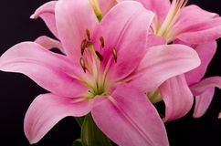 Oriental Pink Lilly Royalty Free Stock Photography