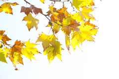 Oriental plane yellow leaf Stock Photo