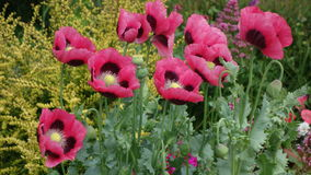 Oriental Poppies Stock Images