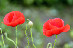 Oriental poppies in red Royalty Free Stock Images