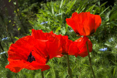 Oriental poppies in red. Papaver orientale Stock Images
