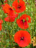 Oriental Poppies royalty free stock photography