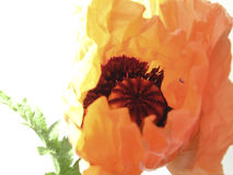 Oriental poppy. Focus on the center of the bloom Royalty Free Stock Image