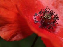 Oriental poppy Stock Image
