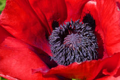 Oriental Poppy Stock Photo