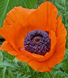 Oriental poppy flower named Brillant. Oriental Brilliant poppy flower with purple center set against a background of green Royalty Free Stock Images