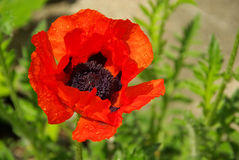 Oriental poppy Royalty Free Stock Photography