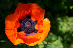 Oriental Poppy Royalty Free Stock Images