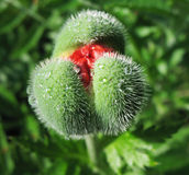 Oriental poppy bud (Papaver orientale) Stock Photos
