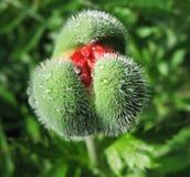 Oriental poppy bud (Papaver orientale) Stock Photos