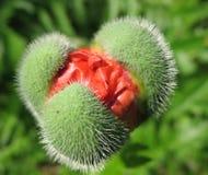 Oriental poppy bud (Papaver orientale ). Stock Image