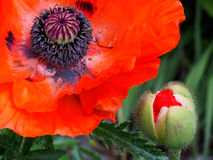 Oriental Poppy and Bud Stock Photo