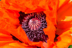 Oriental poppy closeup, Papaver orientale Royalty Free Stock Photography