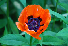 Oriental Poppy Flower in Bloom Up Close Royalty Free Stock Photo