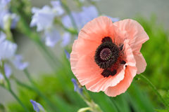 Oriental Poppy Stock Photos