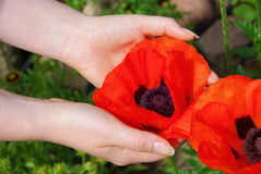 Oriental poppy in hands Stock Images