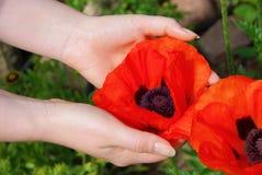 Oriental poppy in hands Stock Images