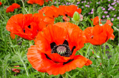 Oriental Poppy Royalty Free Stock Photos