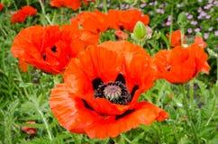 Oriental Poppy Royalty Free Stock Photos