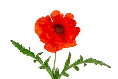 Oriental poppy, Latin Papaver oriental Stock Photo