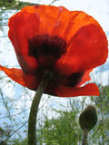 Oriental Poppy (Papaver orientale) Royalty Free Stock Photography