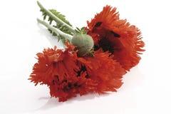 Oriental poppy [Papaver orientale] Royalty Free Stock Photo