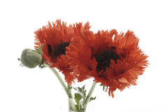 Oriental poppy [Papaver orientale] Stock Images