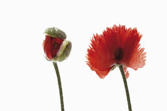 Oriental poppy (Papaver orientale) flower and bud Stock Images