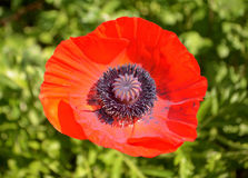 Oriental Poppy Royalty Free Stock Photo