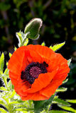 Oriental Poppy (Papaver orientale) Stock Image