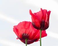 Oriental Poppy - Papaver Orientale stock image