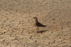 Oriental pratincole Royalty Free Stock Images