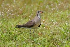 Oriental Pratincole Glareola maldivarum Birds of Thailand Royalty Free Stock Photos
