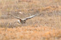 Oriental Pratincole stock photo