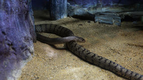 Oriental rat snake Stock Images