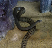 Oriental rat snake Stock Image