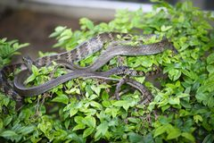 Oriental ratsnake Royalty Free Stock Photo