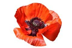 Oriental red poppy Royalty Free Stock Photos