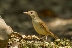 Oriental Reed Warbler Stock Photos