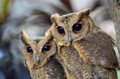 Oriental Scops Owl Royalty Free Stock Photo