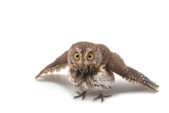 Oriental scops owl isolate Stock Image