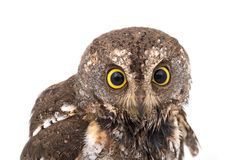 Oriental scops-owl isolate Stock Images