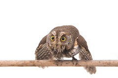 Oriental scops-owl isolate Stock Image